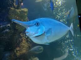 MEET THE AMAZING UNICORN FISH