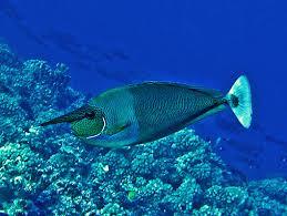 unicorn fish habitat