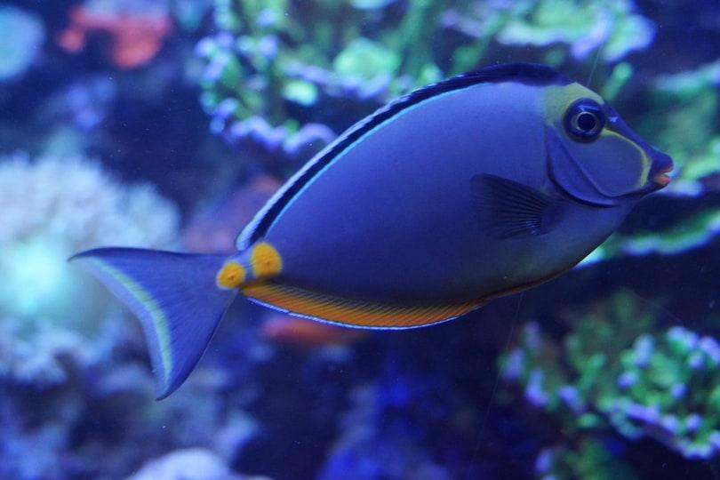 unicorn orange spine fish
